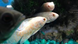 Albino Tiger Oscar Cichlids Grow Very Large And Need a Big Tank