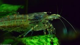 Algae Eater Shrimp Closeup