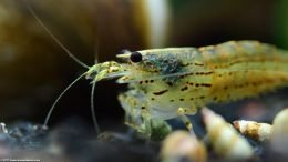 Algae Shrimp Can Be Ferocious Eaters