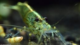 Amano Algae Eating Shrimp In An Established Tank