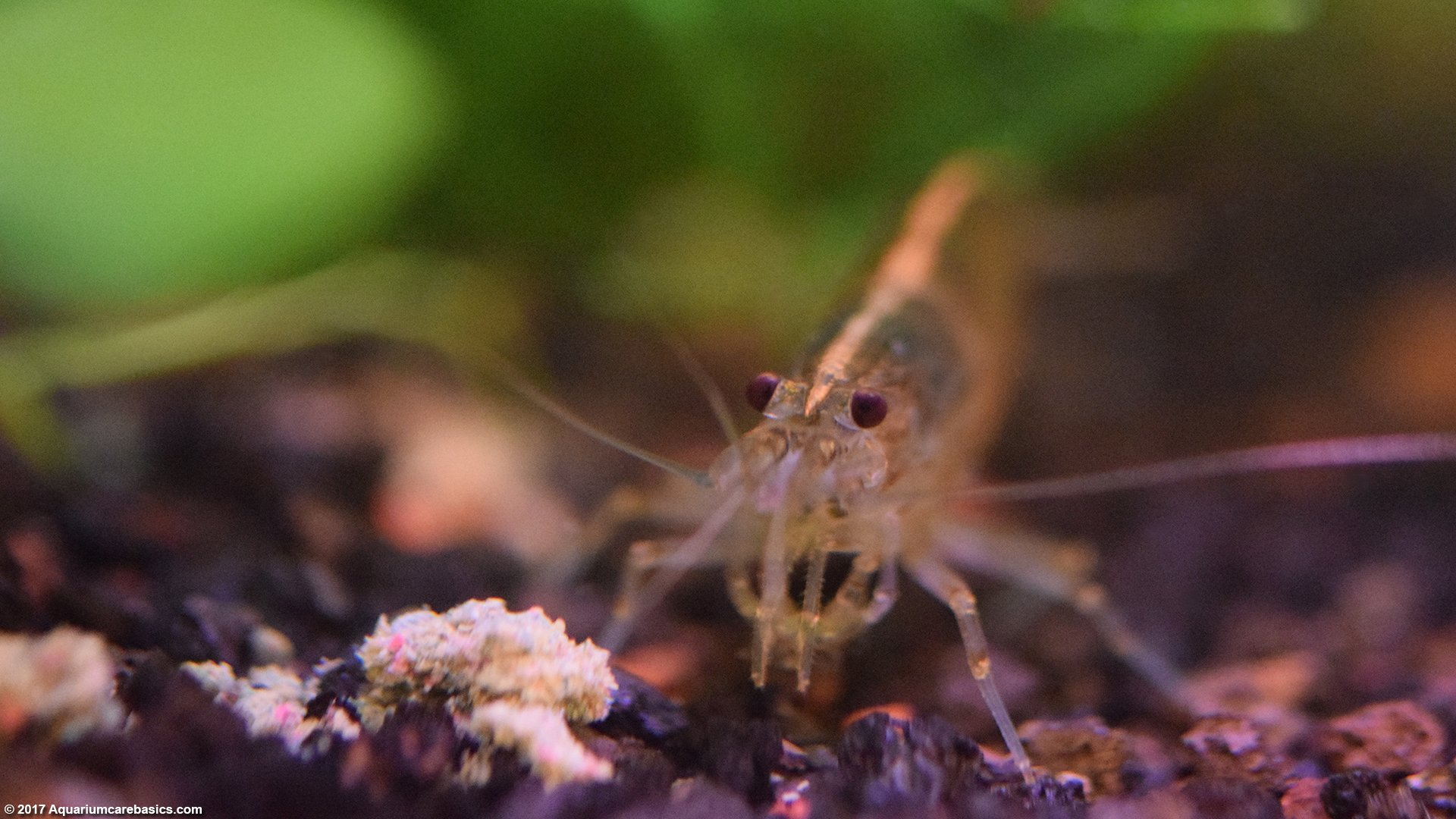 how to take care of freshwater shrimp