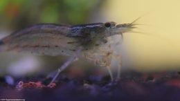 Amano Shrimp Closeup In Freshwater Aquarium