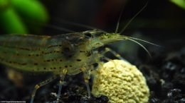 Amano Shrimp Eating A Food Tablet