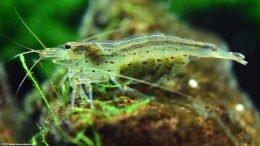 Amano Shrimp Eggs Upclose