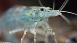 Amano Shrimp Head And Eye, Closeup