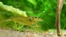 Amano Shrimp In A Planted Tank