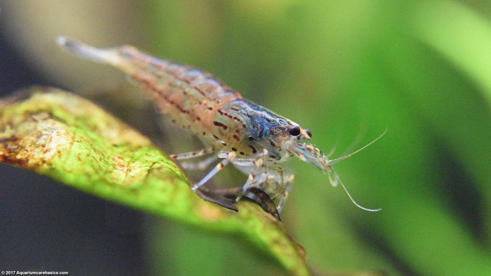 Amano Shrimp Care, Feeding, Algae Eating, Size - Video