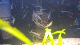Group of Amano Shrimp On Sponge Filter Eating Debris