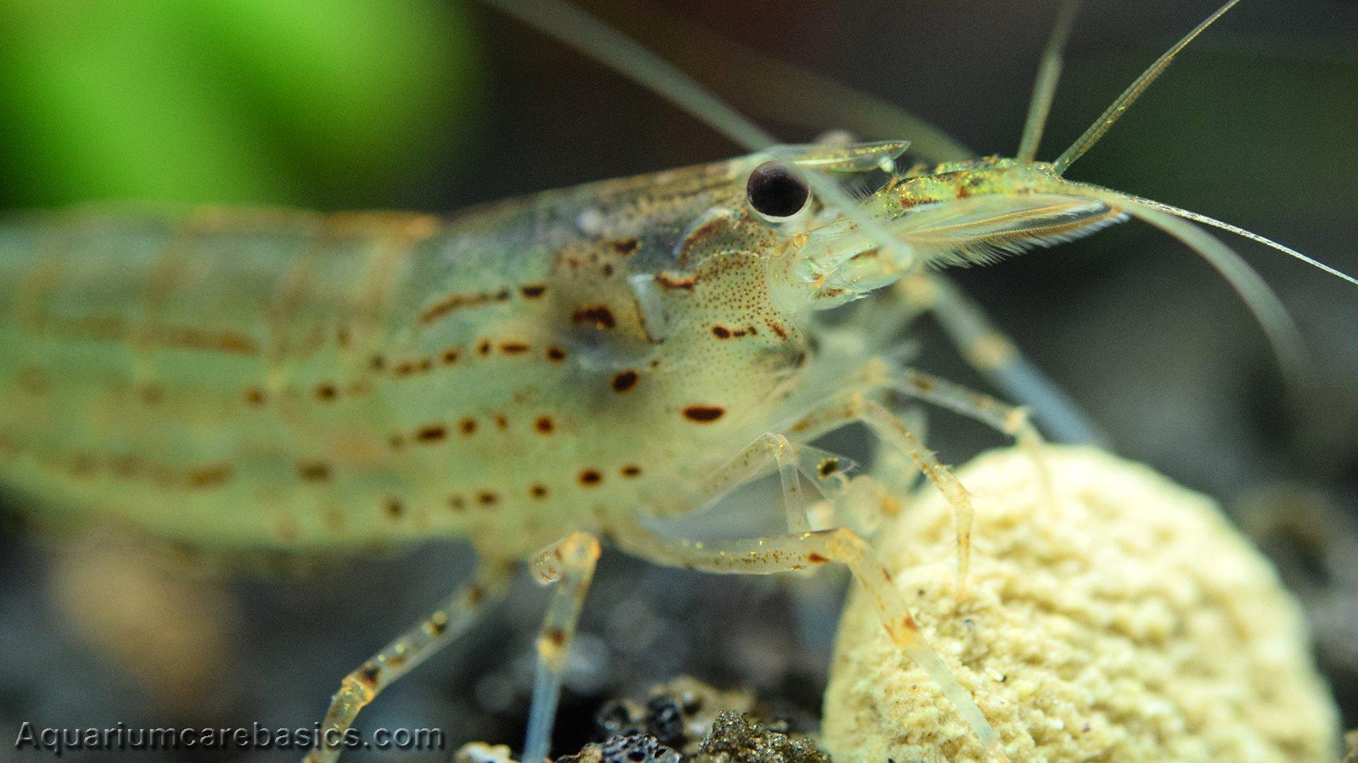 Amano Shrimp Care, Feeding, Algae Eating, Size, Lifespan - Video
