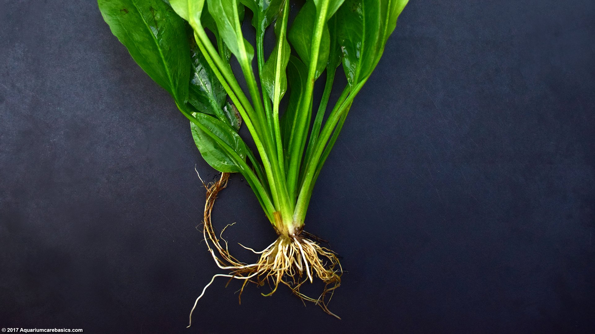 Amazon Sword Plant Care Growth Rate Roots Amp Leaves
