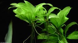 Amazon Sword Plant Reproduction And Growth