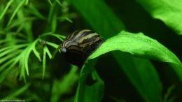 Amazon Sword Plant And Zebra Nerite Snail