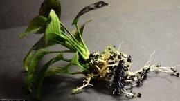 Anubias Plant: Easy Freshwater Aquarium Plants