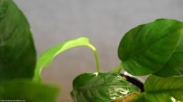 Anubias Barteri Growth Is Slow And Steady