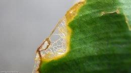 Anubias Plant: Leaf Damage Upclose