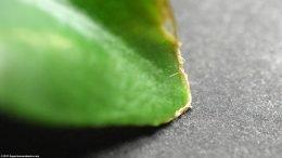 Anubias Plant: Leaf Damage On Tip