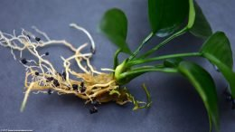 Anubias Barteri: Plant Crown Upclose