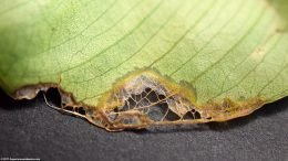 Anubias Barteri Leaf Dying, Underside View