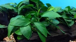 Anubias Care Is Easy