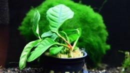 Anubias Coffeefolia Plant In A Pot