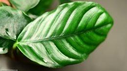 Anubias Coffeefolia Color Is Lush Green