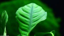 Anubias Coffeefolia Leaf Upclose