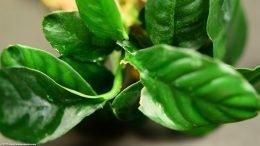 Anubias Coffeefolia Showing Leaf Damage