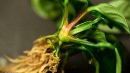 Anubias Coffeefolia Rhizome And Stems Upclose