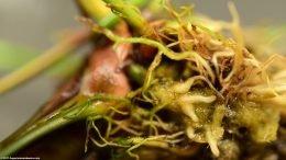 Anubias Hastifolia Roots Closeup