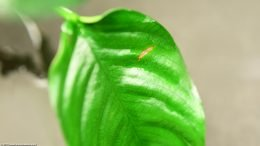 Anubias Nana Showing Leaf Damage