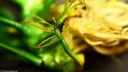 Anubias Nana Roots, Closeup