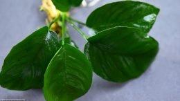 Anubias Plant For A Freshwater Aquarium