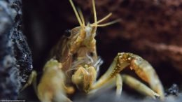 Aquarium Crayfish Feeding Appendages Holding Food