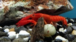 Aquarium Crayfish Habitat Should Include Rocks