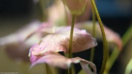 Aquarium Plant With Pink Leaves