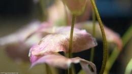 Aquarium Plant With Pink Leaves