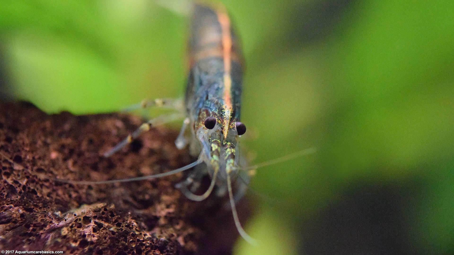 Freshwater Shrimp Can Be Great Additions To A Tank - Video