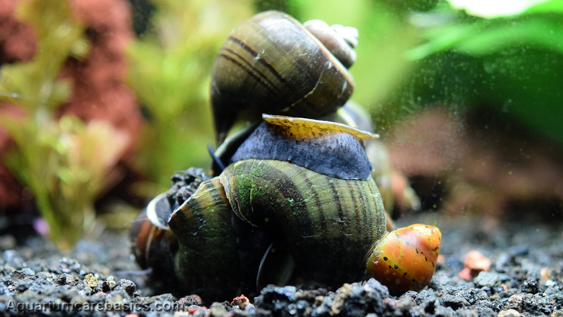 Freshwater Snails Types Of Aquarium Snails Available In Stores