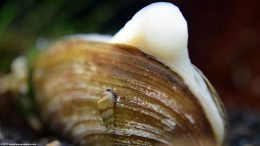 Asian Gold Clam Showing Its Foot