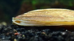 Asian Gold Clam Opening
