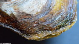 Asian Gold Clam Shell Color