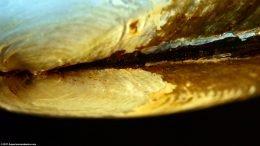 Asian Gold Clam Umbo, Upclose