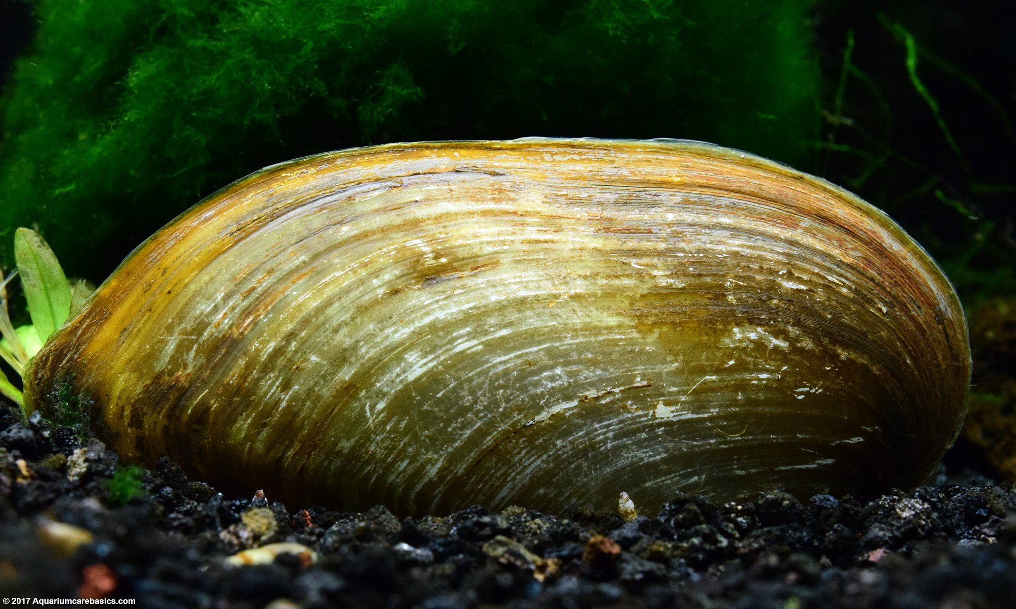Asian Gold Clams In A Freshwater Tank