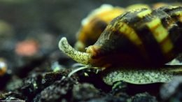 Assassin Snail Care In A Freshwater Tank