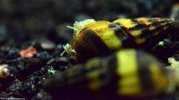 Assassin Snail In A Freshwater Aquarium