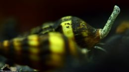 Assassin Snail Proboscis, Upclose