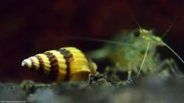 Assassin Snail Shell Apex