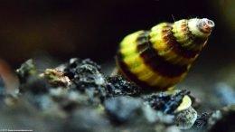 Assassin Snail Shell, Closeup