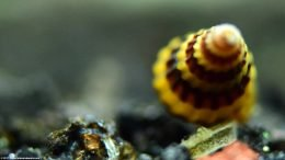 Assassin Snail Shell Whorl