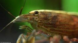 Atyopsis Moluccensis Eyes Head